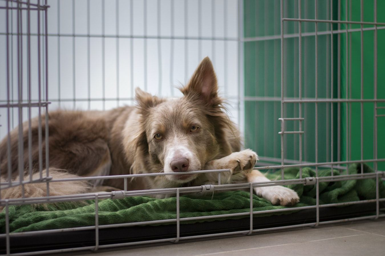 How To Choose a Dog Crate For Large Dog Breeds